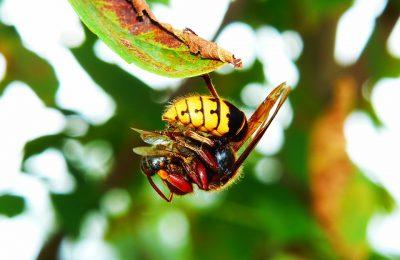 De hoornaar: wel of geen superwesp?